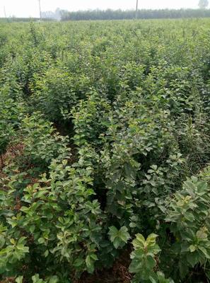 河北保定曲阳县紫丁香 6~8cm 4cm以下 0.5~1米
