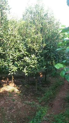 四川宜宾茶花树 140cm以上