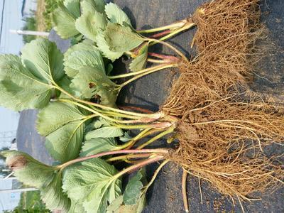 这是一张关于甜查理草莓苗 10~20公分 地栽苗 草莓苗 甜查理的产品图片