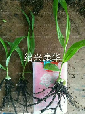 这是一张关于白芨苗 紫花三叉大白芨(宽叶)直播苗的产品图片