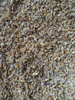 河南南阳瘪小麦