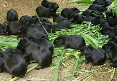 广西桂林中华竹鼠苗
