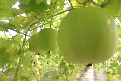 江西上饶香芋冬瓜 2斤以上 白霜