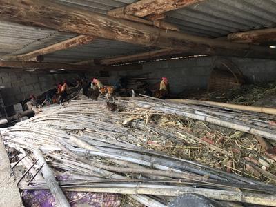 云南昆明野山鸡 1-2斤