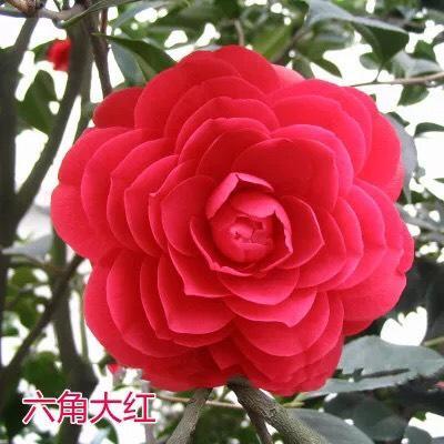 广西桂林山茶花 50~80cm 六角大红、赤丹