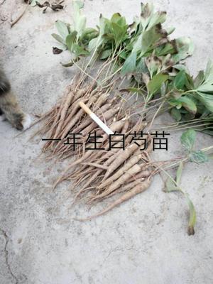 安徽亳州白芍 种苗