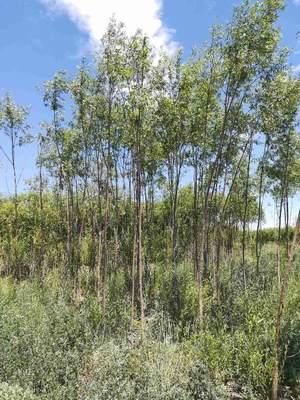 新疆维吾尔自治区昌吉回族自治州呼图壁县美国竹柳
