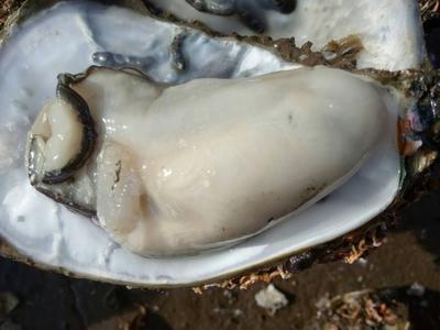 广东湛江湛江牡蛎 5-10只/公斤 人工殖养