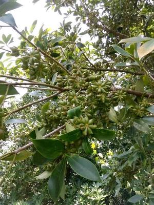 广西玉林普通八角 八角 大茴香