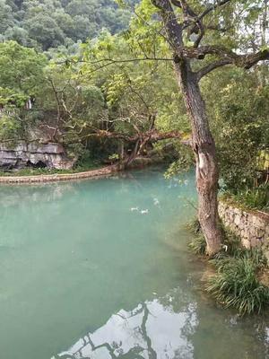 广西柳州灰色珍珠鸡 2-4斤