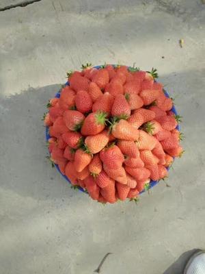 河南郑州丰香草莓 30克以上 红艳,天仙醉,
