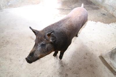 陕西西安特种野猪 160-200斤 统货