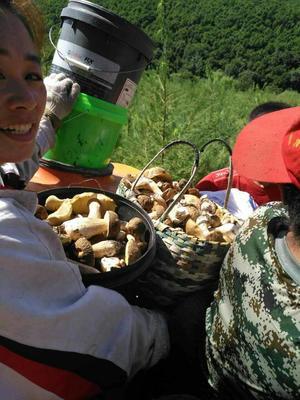 这是一张关于蘑菇 东北野生珍蘑,野生大腿菇的产品图片