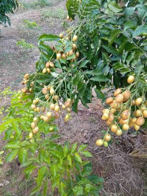 广西桂林黄皮青椒 扁圆型 酸甜