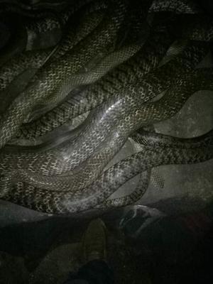 广西钦州水律蛇 食用 支持快递