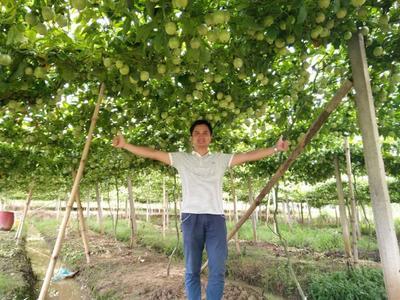 广西玉林紫香一号百香果 70 - 80克 一级百香果中大果3斤