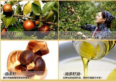 湖南邵阳茶叶籽油 100%真茶油野山茶油茶油100%真茶油