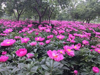 山东菏泽白芍 白芍种苗繁育基地,白芍种子、白芍芽头