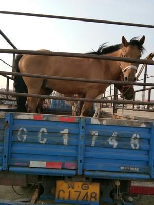 河北张家口肉马 400-600斤