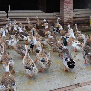 这是一张关于麻鸭苗 广西杂交麻鸭混合苗的产品图片