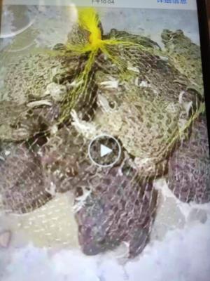 广东云浮罗定市虎纹蛙苗