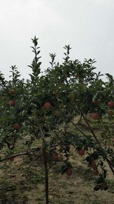 这是一张关于嘎啦苹果 75mm以上 光果 片红的产品图片