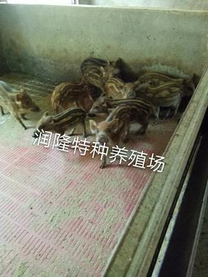 山东济宁特种野猪 20-30斤 统货