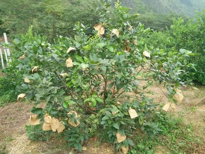 广西来宾尤力克柠檬 3.3 - 4.5两