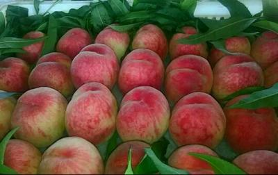 这是一张关于沙红桃苗 1~1.5米的产品图片