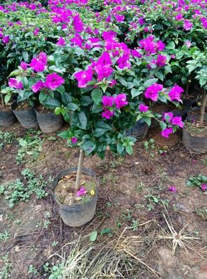 云南昆明紫红三角梅 1.0~1.5米