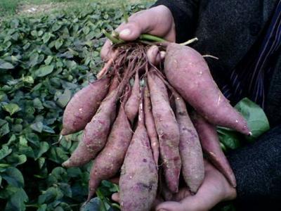 河南濮阳济紫薯1号 3两以上