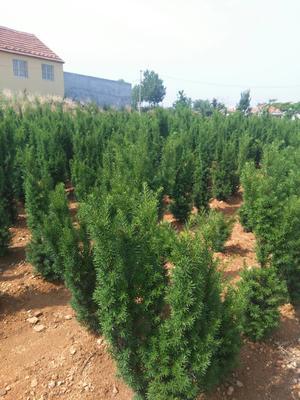山东威海曼地亚红豆杉 1~1.5米
