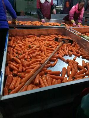 河南开封三红胡萝卜 3~4cm 15cm以上 3两以上