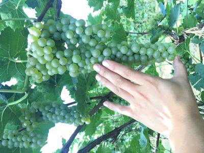 河南开封葡萄 1 - 2斤 5%以下