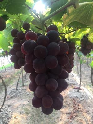 福建宁德巨峰葡萄 0.8 - 1斤 5%以下