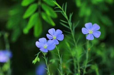 这是一张关于蓝花亚麻种子的产品图片