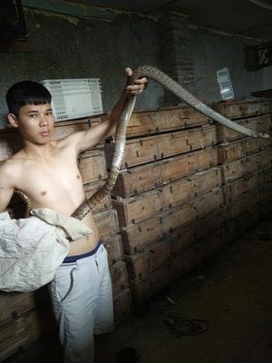 广东佛山水律蛇 食用