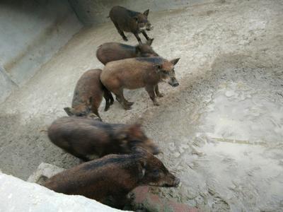河南商丘生态野猪 20-30斤 统货