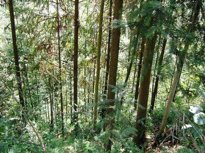 福建南平杉木