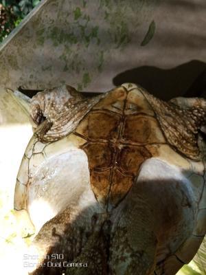 广东茂名鳄龟 20-30cm 6-8斤