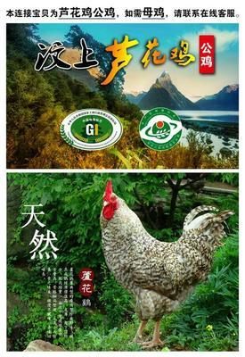 山东济宁芦花鸡 3-4斤 统货