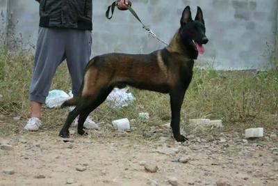 这是一张关于马犬 纯黑,公母都有,价格不高的产品图片