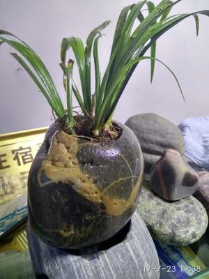 四川成都新津县菖蒲 鹅卵石花盆,金鱼缸,多肉植物
