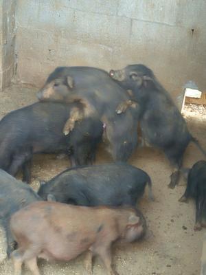 湖南湘西藏香猪 20-40斤