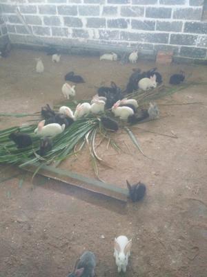 这是一张关于肉兔 1斤以下的产品图片