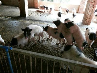 这是一张关于巴马香猪 80斤以上的产品图片