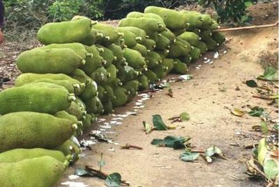 海南儋州海南菠萝蜜 10-15斤 海南马来1号品种,包邮