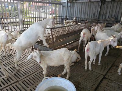 山东菏泽白山羊 30-50斤