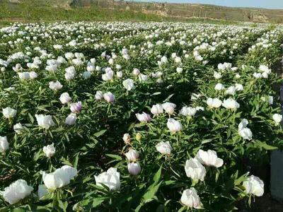 山东菏泽牡丹区白花芍药 0.5米以下 2cm以下