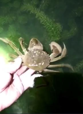 这是一张关于生态大闸蟹 2.0-2.5两 母蟹的产品图片